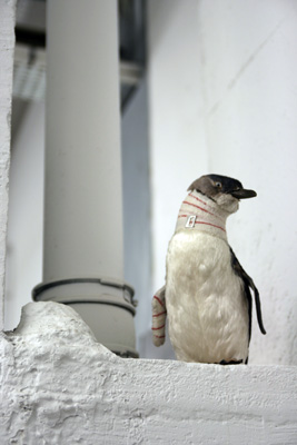 Pascal Bernier - Accident de chasse (Pingouin), 2004. Pingouin naturalisé, bandage,  vernis acrylique - La Station -  Art Contemporain - Nice - Écotone